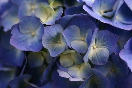 blue-spring-flowers | by ForestWander.com