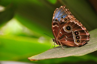 Morpho peleides wings closed (blue morpho butterfly) | by Armando Maynez