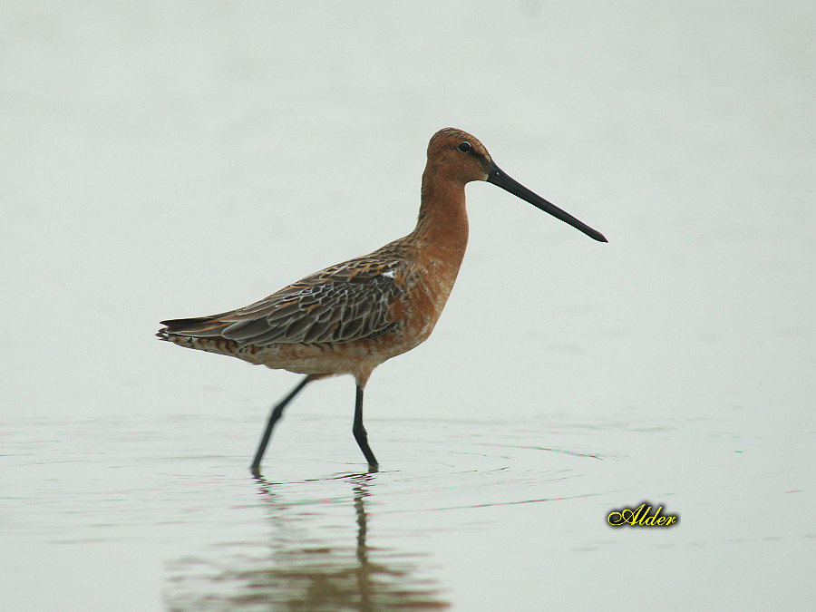 Asian_Dowitcher_6437
