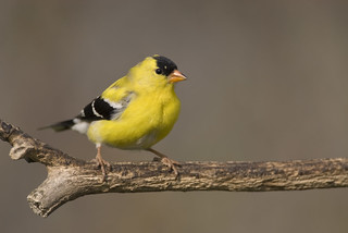 American Goldfinch | by Robin Arnold