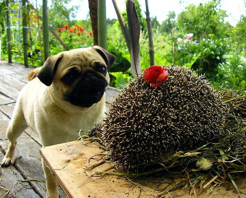 the pug and the hedgehog