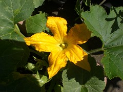 Big courgette flower! | by cox-on-the-box - art, clay, cats, veg