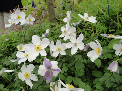 Anemone 'Wild Swan' with reverse | by RHR Horticulture