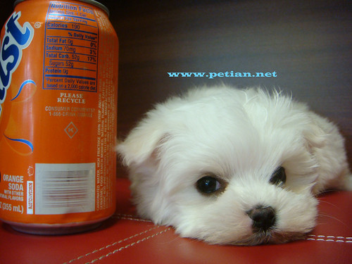 Cute Maltese puppy | by www.petian.net
