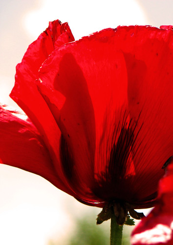 Crimson Red Poppy -- best viewed on black, just click on it | by Toria Clark