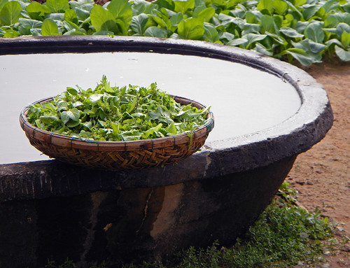 Freshly-Picked Mixed Herb Salad in a Hoi An Herb Garden (Vietnam)