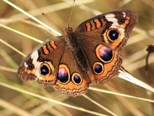 Common Buckeye 20131203