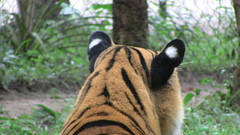 Letting Go of the Tiger's Ears. | The Drift from Upstream