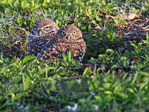 Burrowing Owls pair2 20140218