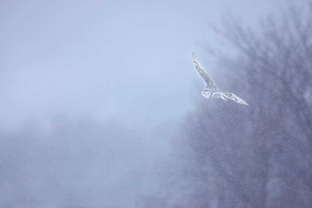 Snowy Owl and Snow
