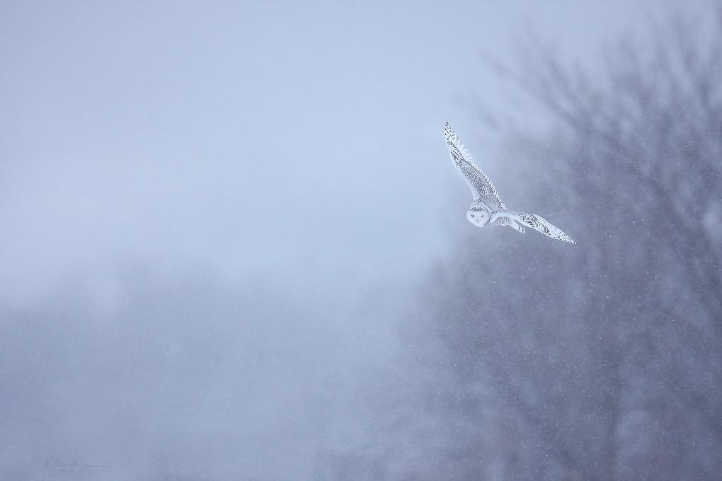 Snowy Owl and Snow