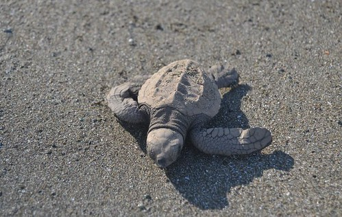 25 Fantastic Reasons To Pack Your Bags And Visit Blue Osa Right Now Baby Sea Turtles