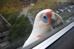 301/365: Long-billed Corella