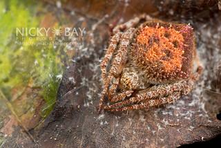 Orb Web Spider (Eriovixia laglaizei) - DSC_7920