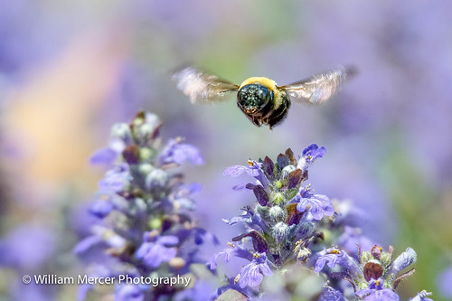 Flight of the Bumble Bee | by southernhobbyist