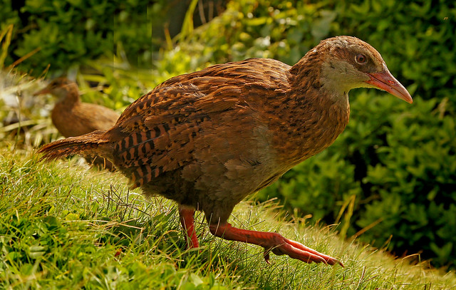 Weka, or woodhen NZ.(Gallirallus australis)