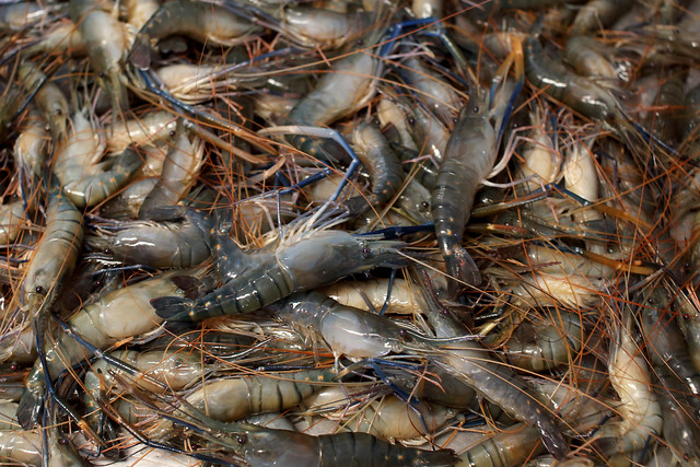 Shrimps at a local fish market in Khulna, Bangladesh. Photo by M. Yousuf Tushar. April 18, 2014