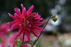 Dahlien im Britzer Garten