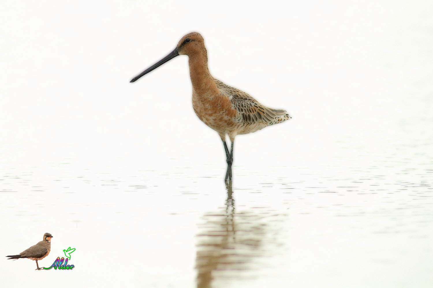 Asian_Dowitcher_6379