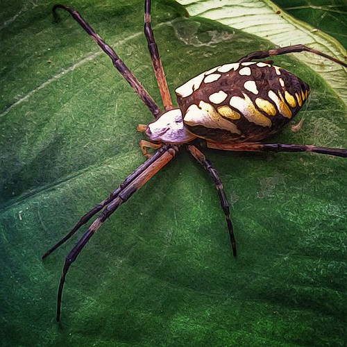 Remember when i first met my little pet garden spider that flickr for What does a garden spider look like