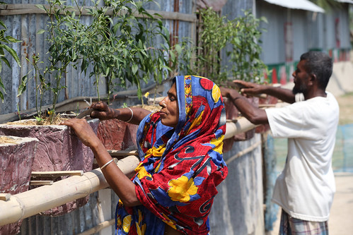 Mehrunessa and her husband growing chillies at her climate smart house in Satkhira, Bangladesh. Photo by M. Yousuf Tushar. April 21, 2014