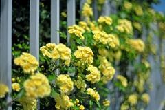 banksia rose 20140424