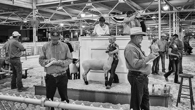 Sheep Auction | 073 100 X