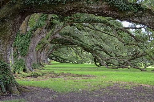 Oak Alley trees