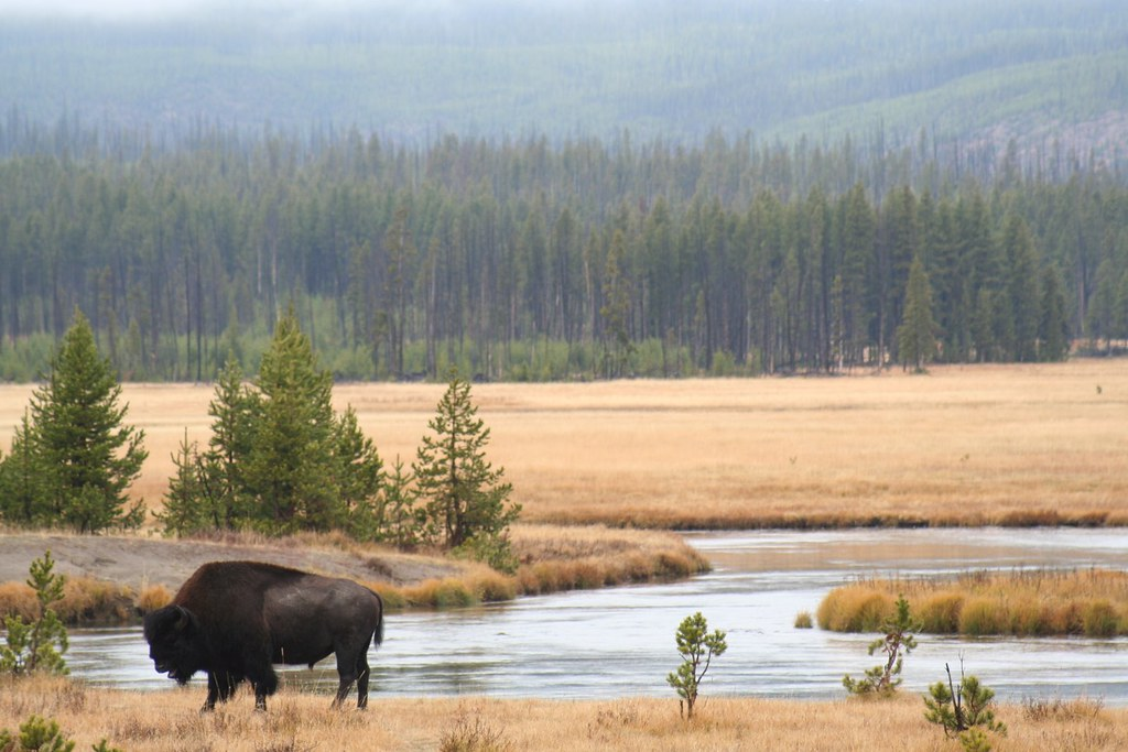 Conserving the North American bison