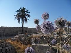 Chardons en république turque de Chypre Nord