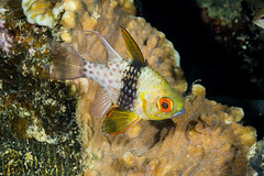 Pajama cardinalfish, Palau (Sphaeramia nematoptera)