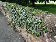 Ivy on a wall, 2017 Aug 13