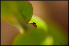 Araignée sauteuse de la famille des Salticidae.