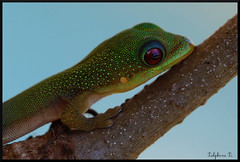 Jeune phelsuma laticauda appelé gecko poussière d'or.