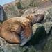 Steller Sealion (Eumetopias jubatus)