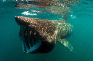 Basking Shark | by Wild Journeys