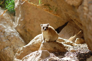 Rock Hyrax | by elibrody