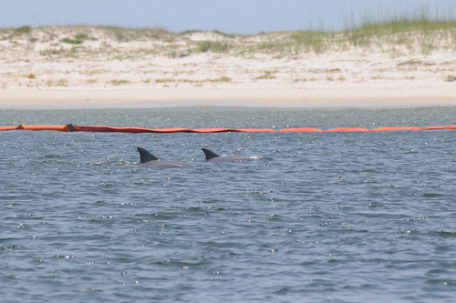 Dolphins swim next to oil booms at Petit Bois Island in Mississippi on June 4, 2010 | by Deepwater Horizon Response