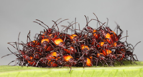 assassin bug how to get rid of