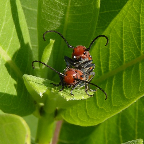 Red Milkweed Beetles | by Dendroica cerulea
