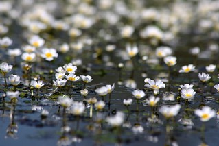pond flowers | by tockoloshe