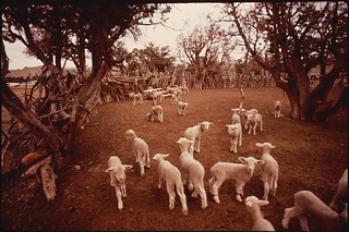 Herd of Sheep | by The U.S. National Archives