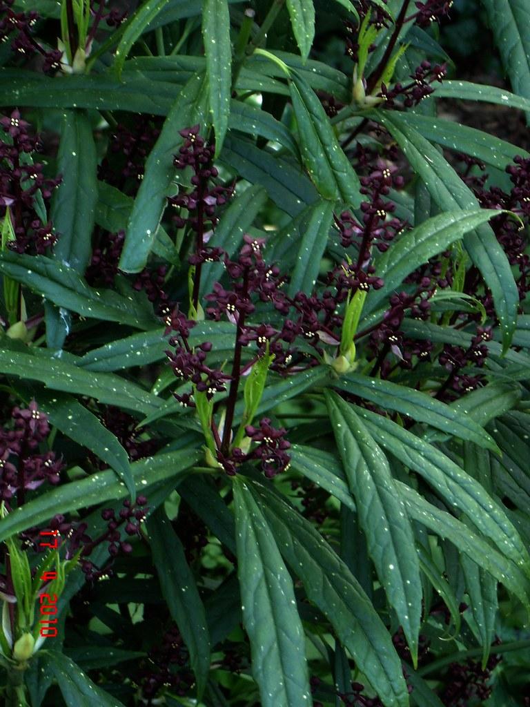 Aucuba himalaica dolichophylla