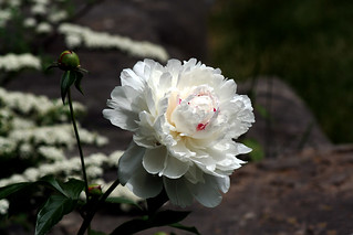White Peonie Rose | by Brian 104