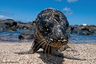 Galapagos Sea Lion Pup | by Todd Bretl