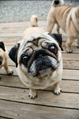 Pug Love | by Poi Photography