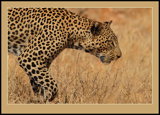 Leopard | by Rainbirder