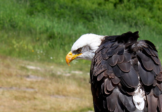 Bald Eagle Closeup -- This is my favorite picture from day 3 | by Toria Clark