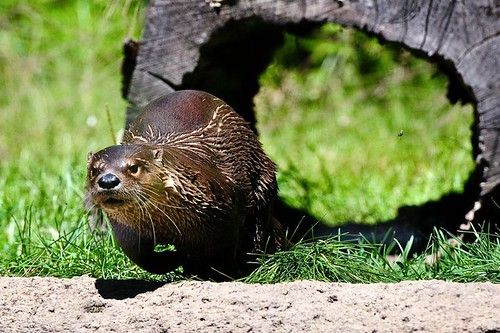 North American River Otter - Mike | by Potter Park Zoo