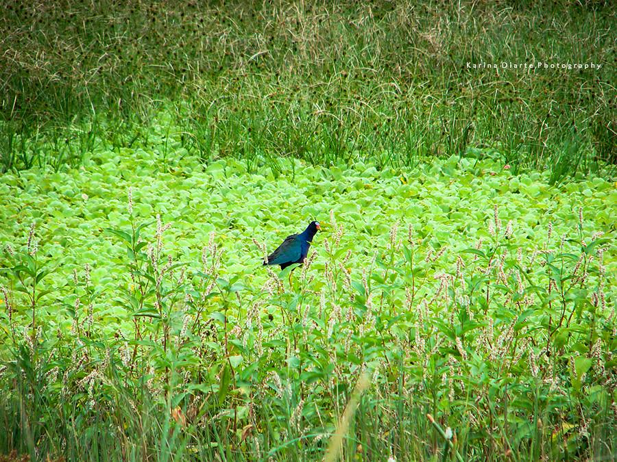 Polla Azul / Purple Gallinule